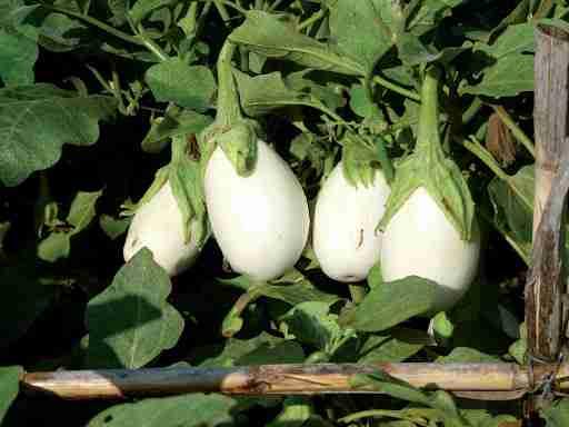 L'esbergínia blanca, un tresor de proximitat